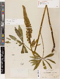 Image of Lupinus pallidipes