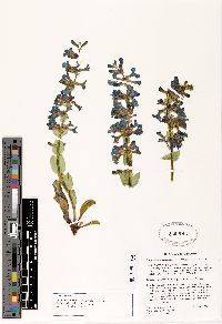 Image of Penstemon mucronatus