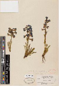 Image of Penstemon uintahensis