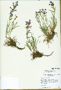 Image of Penstemon aridus