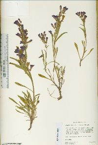 Image of Penstemon idahoensis