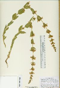 Image of Penstemon anguineus