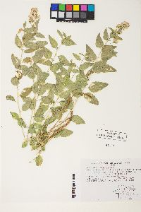 Ageratina occidentalis image