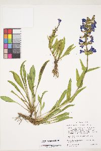 Image of Penstemon payettensis