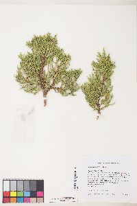 Image of Juniperus grandis