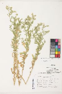 Laennecia coulteri image