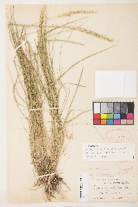 Image of Elymus angustifolius