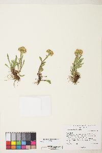 Solidago multiradiata image