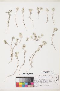 Stylocline micropoides image