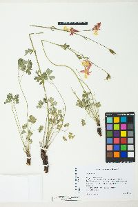 Image of Aquilegia shockleyi