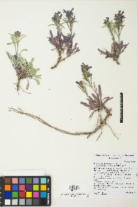 Image of Penstemon barnebyi