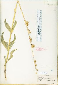 Image of Penstemon floridus