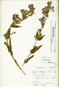 Image of Penstemon moriahensis