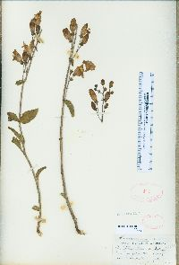 Image of Penstemon grinnellii