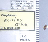 Image of Pityophthorus acutus