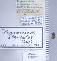 Trigonorhinus alternatus image
