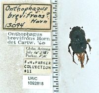 Onthophagus brevifrons image