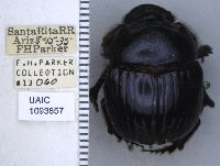 Image of Dichotomius colonicus