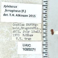 Image of Xyleborus ferrugineus