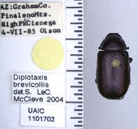 Image of Diplotaxis brevicollis