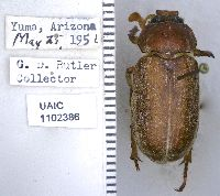 Polyphylla cavifrons image