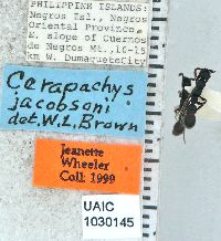 Image of Cerapachys jacobsoni