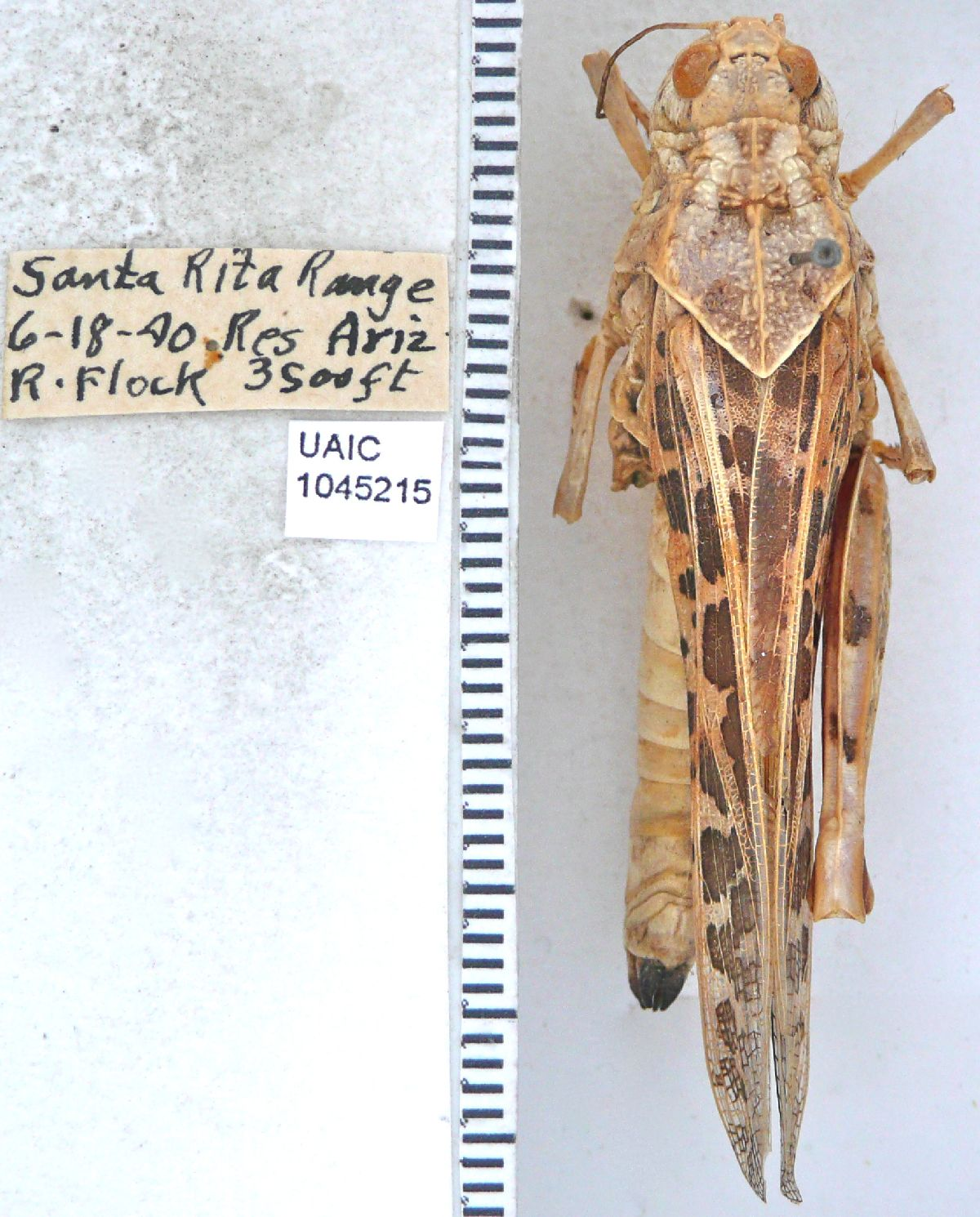Xanthippus corallipes image