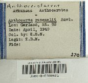 Anthoceros adscendens image