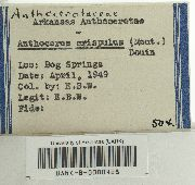 Anthoceros agrestis image