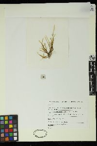 Image of Dictyopteris papenfussii