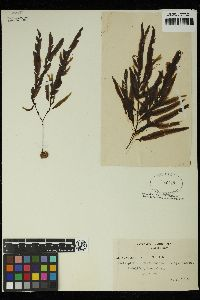 Dictyopteris acrostichoides image