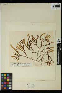Image of Dictyopteris woodwardia