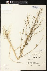 Image of Chenopodium missouriense
