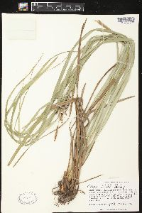 Image of Carex joorii