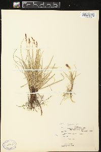 Image of Carex pennsylvanica