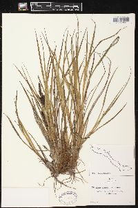 Image of Carex hindsii