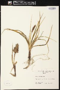 Image of Carex macrocephala