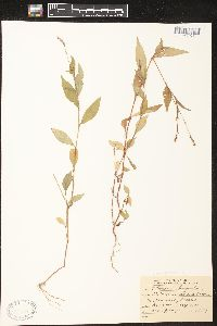 Image of Polygonum longisetum