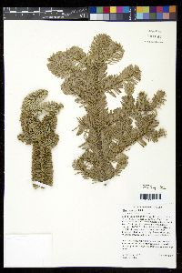 Image of Abies procera