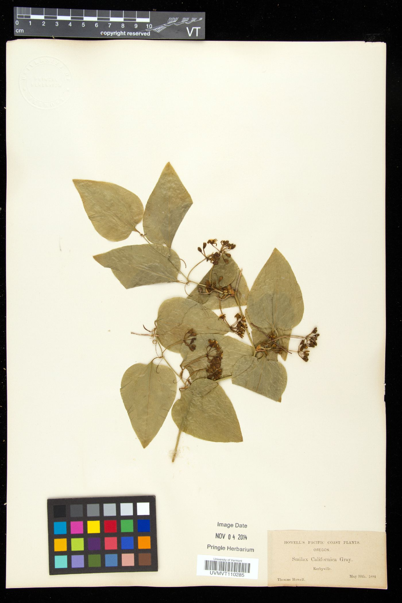 Smilax californica image