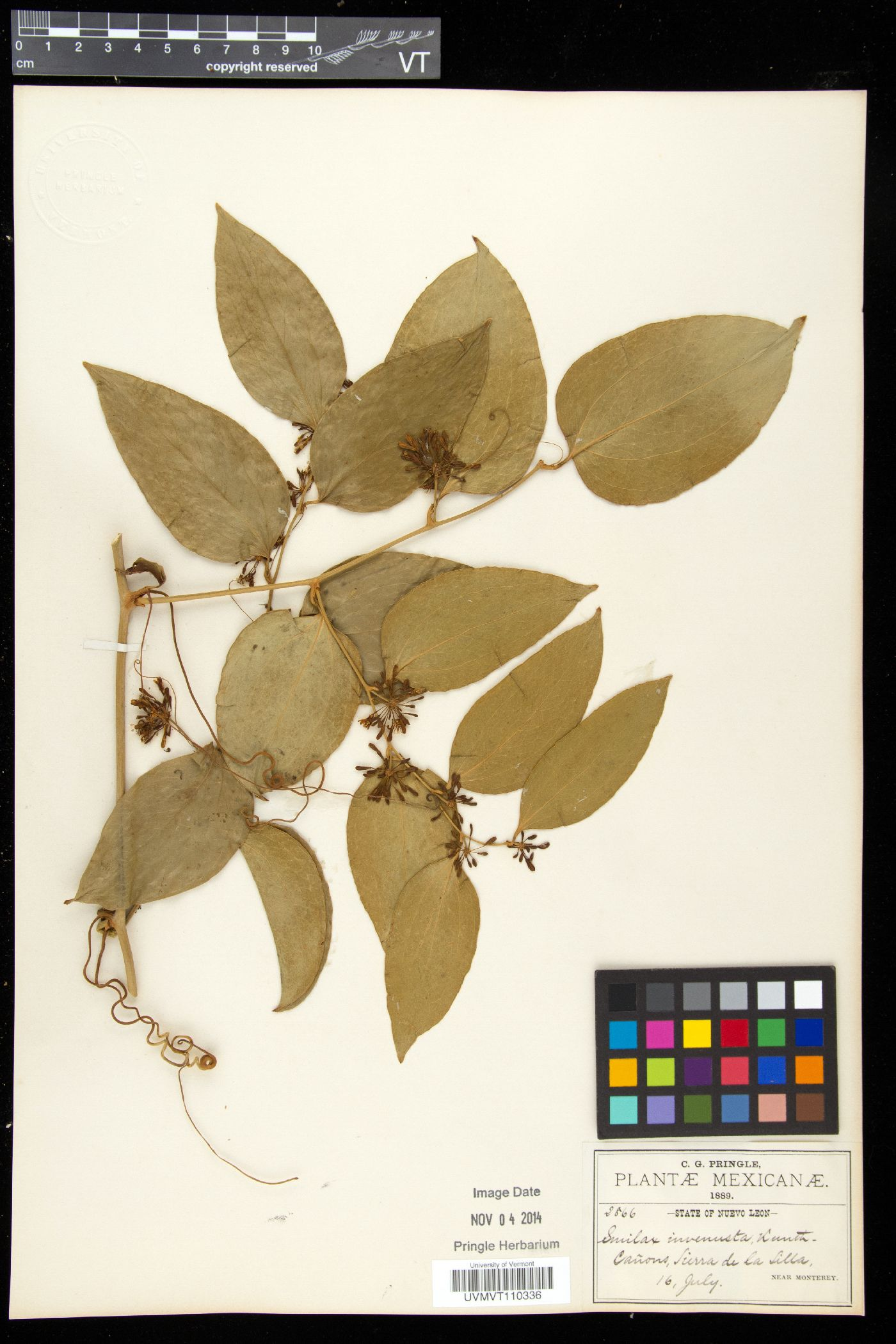 Smilax invenusta image
