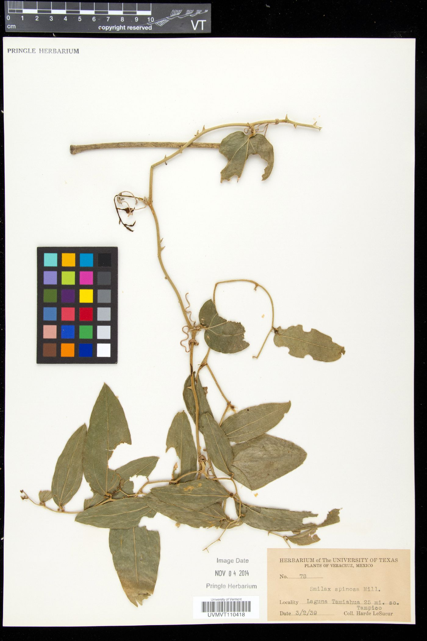 Smilax spinosa image