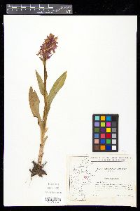 Image of Orchis majalis