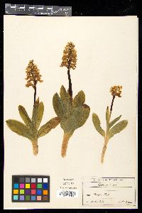 Orchis pallens image