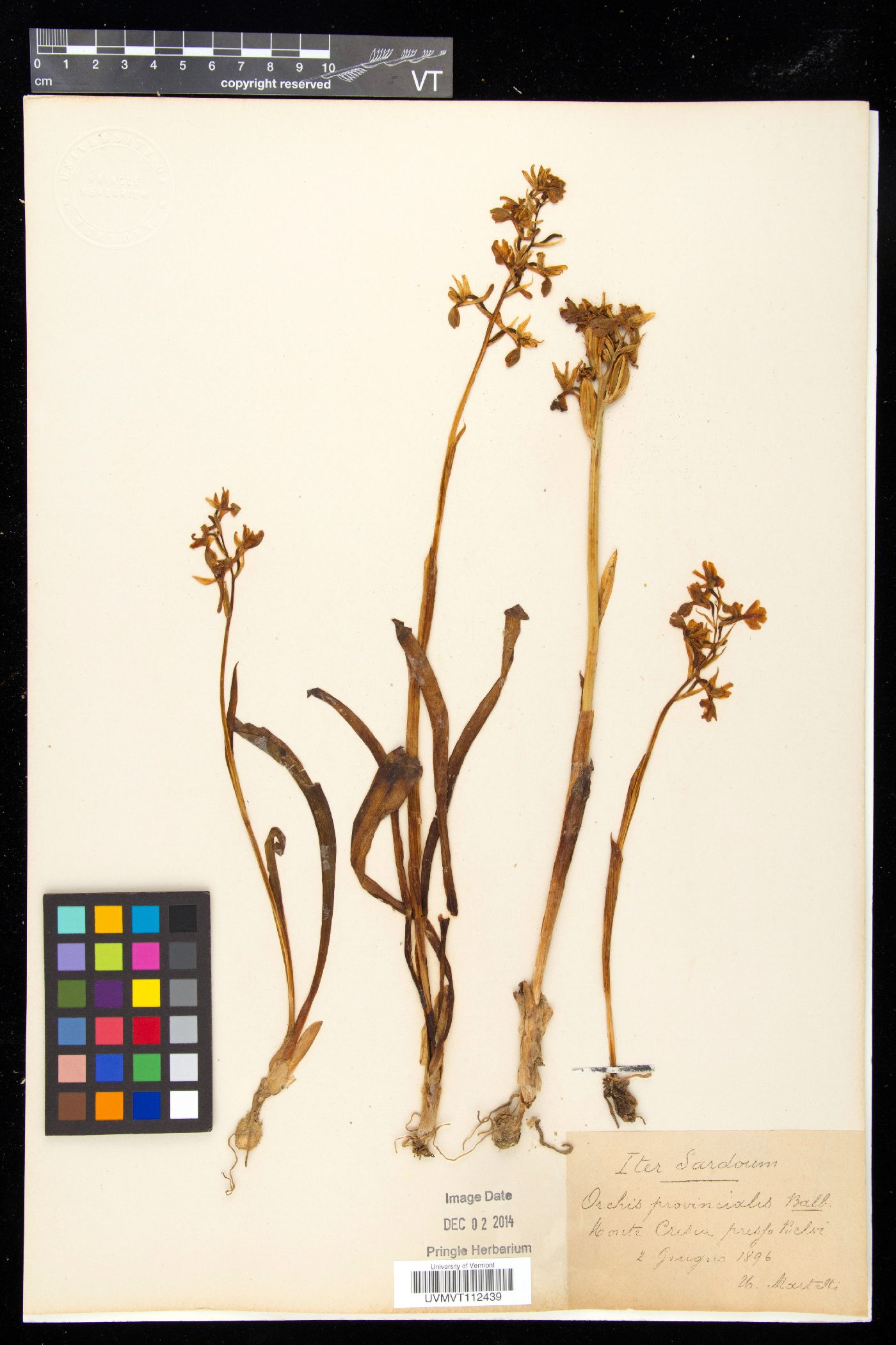 Orchis provincialis image