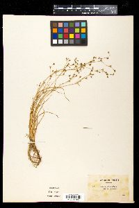 Image of Juncus foliosus