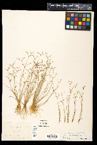 Image of Juncus tenageia
