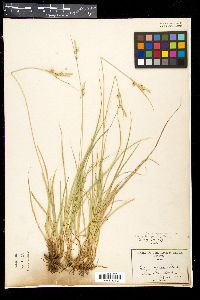 Image of Carex turbinata