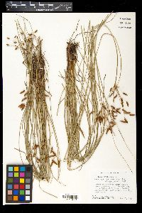 Image of Fimbristylis castanea