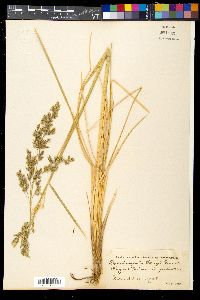 Image of Deschampsia kingii